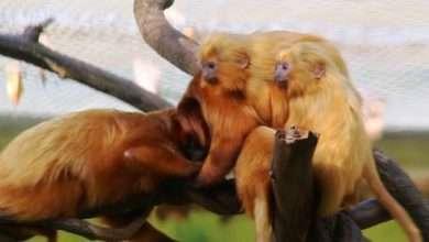 Foto de Filhotes de mico-leão-dourado nascem no Beto Carrero World