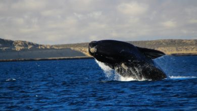 Foto de Enfim, as gigantes do mar chegaram a Santa Catarina para mais uma temporada