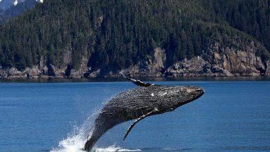 Foto de Liberado o turismo embarcado para observação das gigantes do mar
