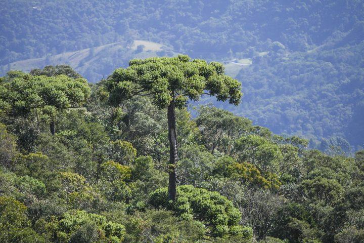 Sem estratégias de conservação araucária deve ser extinta em 2070 diz estudo
