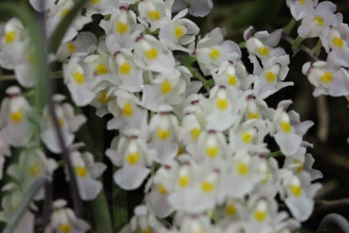 Orquídea bonita e saudável - Capanemia superflua