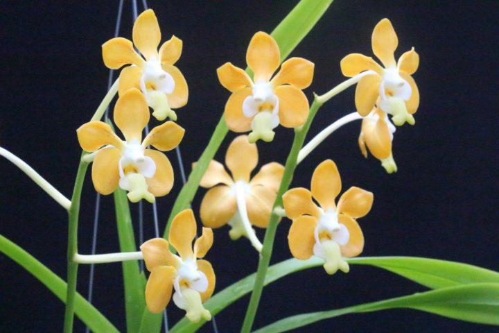 Orquídea bonita e saudável - Vanda denisoniana