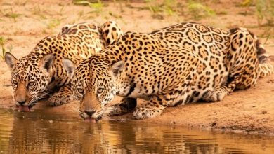 Foto de Pantanal revertem doações para a preservação de onças-pintadas