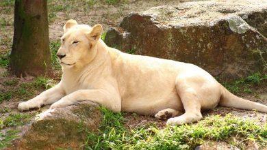 Foto de Leões do Parque Beto Carrero são atendidos no ZooCare