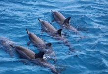 Foto de Ameaça ao golfinho rotador pelo turismo desordenado