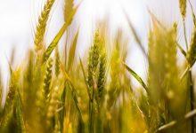 Foto de Previsão de produção recorde de grãos na safra 2020/21